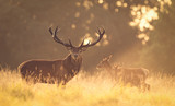Red deer stag in the golden morning light - 92724677
