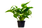 Green trees suitable for planting in residential areas.
