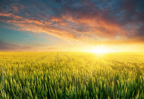 Fototapeta Filed during bright sunset. Agricultural landscape in the summer time