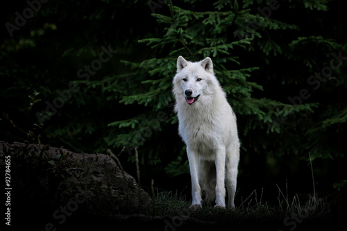 Juliste loup blanc arctique animal mammifère