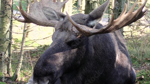 Foto op Canvas Aap In the face close up of moose bull (Alces alces) resting on forest floor. Surrounding is young spruce woodland in autumn.