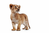 Side view of a Lion cub standing, looking down, 10 weeks old, isolated on white