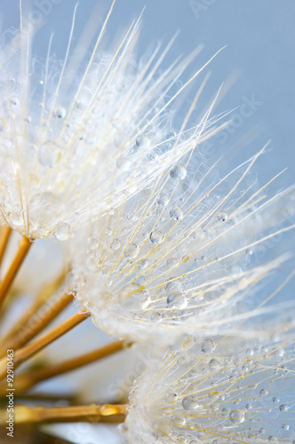 Close-up of dandelion with drops - 92910463