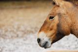 Horse Przhevalsky poster