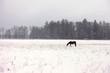 Obrazy na płótnie, fototapety, zdjęcia, fotoobrazy drukowane : Horse in a snowy field