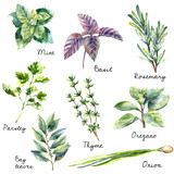 Fototapety Watercolor collection of fresh herbs isolated.