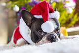 Fototapety French bulldog in santa hat under christmas tree