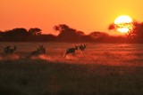 Springbok Antelope - Golden Sunset Wildlife Silhouettes