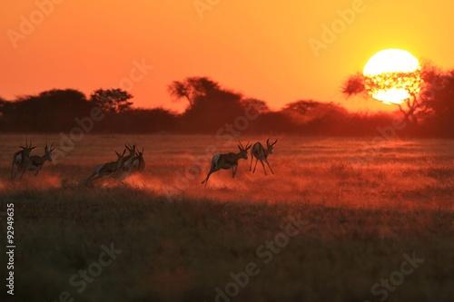 Poster Springbok Antelope - Golden Sunset Wildlife Silhouettes
