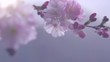Sakura spring flowers. Beautiful nature scene with blooming sakura tree