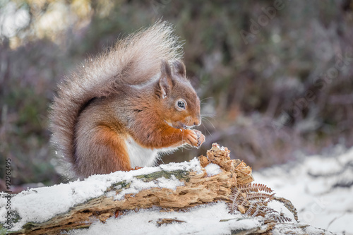 Tuinposter Eekhoorn Red squirrel in Northumberland, England