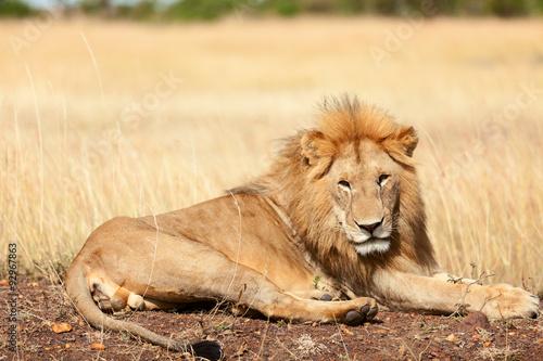 Staande foto Afrika Male lion in Masai Mara