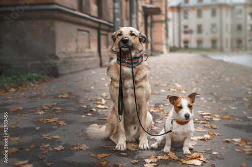 Poster Mixed breed dog  and Jack Russell Terrier walking in autumn park