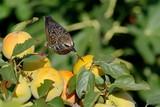 Uccello che mangia frutta pronta per essere raccolta
