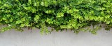 Fototapety White Plastered Wall With Green Hedge, Background