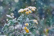 Plant covered with frost, hoarfrost or rime in winter morning, natural background