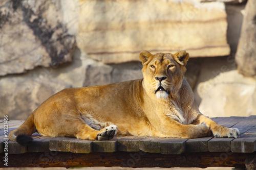 Fotobehang Lioness
