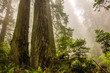 Dramatic Coastal Redwood Trees in Mist