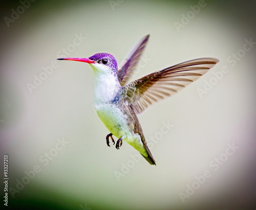 Violet Crowned Hummingbird. Using different backgrounds the bird becomes more interesting and blends with the colors. These birds are native to Mexico and brighten up most gardens where flowers bloom. - 93327213