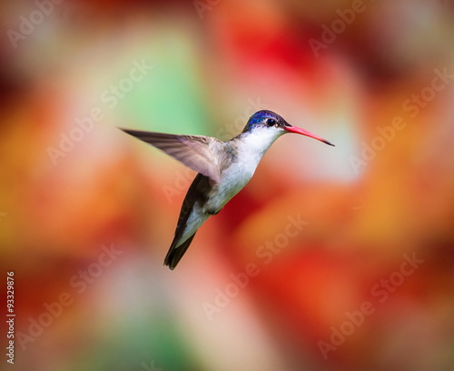 Violet Crowned Hummingbird. Using different backgrounds the bird becomes more interesting and blends with the colors. These birds are native to Mexico and brighten up most gardens where flowers bloom. - 93329876
