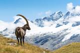 Alpine Ibex (Capra ibex), Gran Paradiso National Park, Italy - Fine Art prints