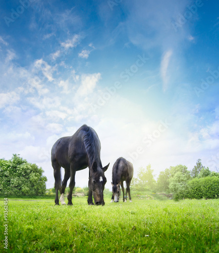 Horses grazing on fresh grass in summer or spring meadow