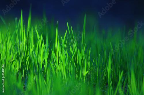 texture of fresh green grass - 93417296