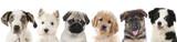 Fototapety Verschiedene Welpen - Hunde Köpfe aufgereiht
