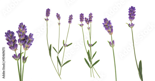 Lavender flowers set isolated on white