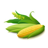Yellow corn on the cobs on white background