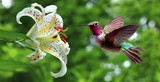 Hummingbird hovering next to lily flowers panoramic view - 93516457