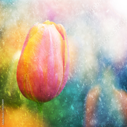 Fototapety, obrazy : Beautiful sunny and rainy colorful tulip flower background. Selective focus used.