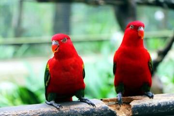 Czerwony ptaków