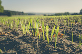 winter barley - 93605632