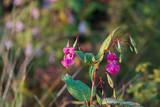 Purple blooming Himalayan Balsam