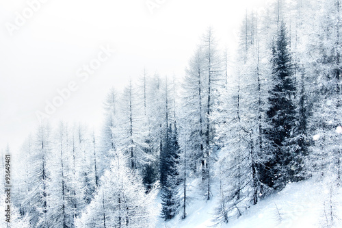 Snow covered forest - 93649481