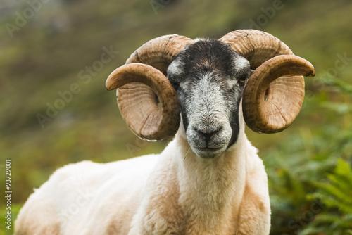 Blackface Sheep, Skye, Scotland Poster