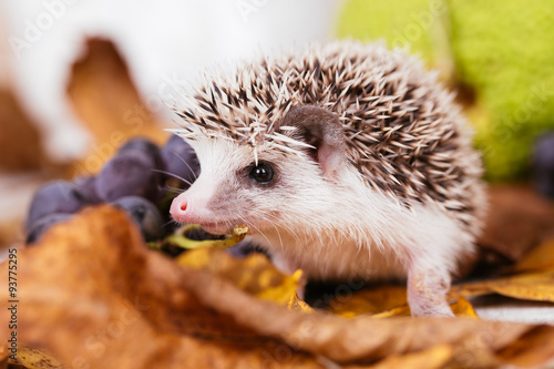 Cute African pygmy hedgehog baby  © tamara83