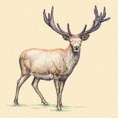 grawerować ilustracja jelenia