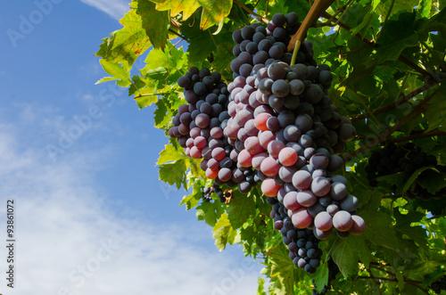 Poster Vendemmia, Grappoli di uva rossa pro amarone in veneto a Verona