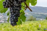 Fototapety Vigneti e grappoli di uva rossa nelle colline di toscana e veneto