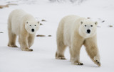 A polar bear on the tundra. Snow. Canada. An excellent illustration