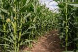 Corn field maze
