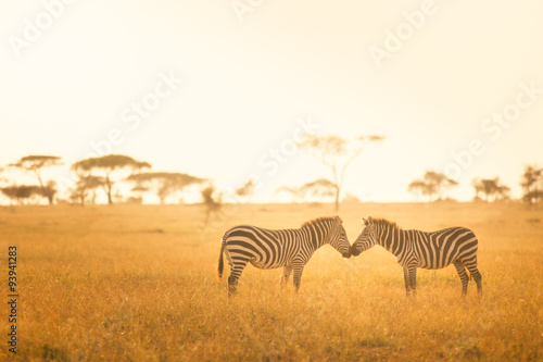 obraz PCV Zebra Love in the Serengeti