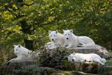 loup polaire arctique blanc peur mammifère