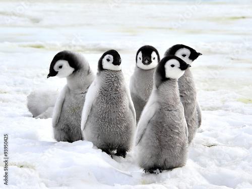 Plexiglas Pinguin Emperor Penguin Chicks