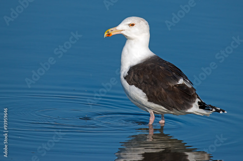 Poster Great Black-backed Gull Standing in Water