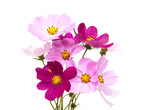 Fototapety Cosmos flowers