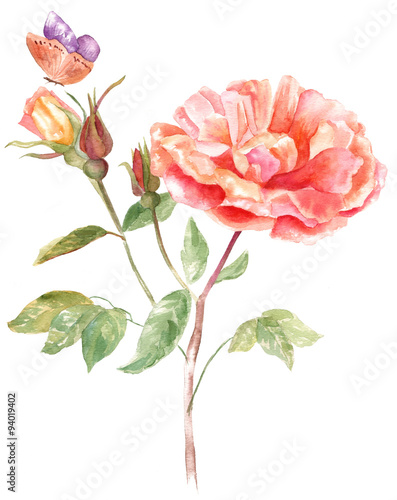Fototapeta A vintage style watercolour drawing of a tender peach rose brunch