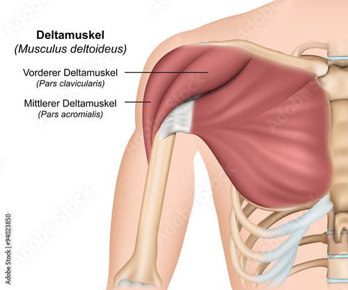 GamesAgeddon - Musculus deltoideus Anatomie ,Deltamuskel ...